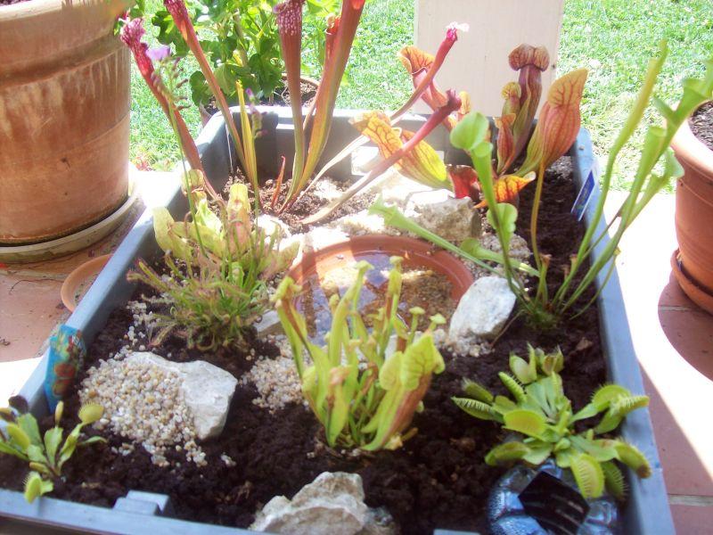 plante carnivore nepenthes arrosage