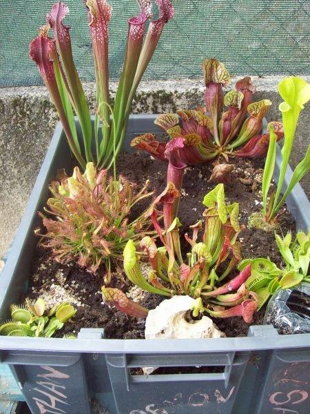 Hiverner les plantes carnivores for Hivernage des plantes